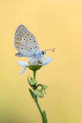Hauhechel-Bläuling (Polyommatus icarus) / ch138425