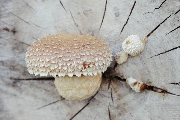 Pappel-Schüppling (Hemipholiota populnea, Pholiota destruens) / chst0061