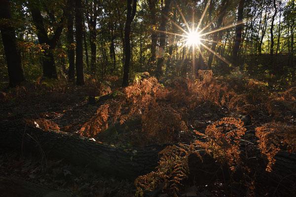 Laubwald bei Sonnenaufgang im Herbst, Nordrhein-Westfalen / ch185283