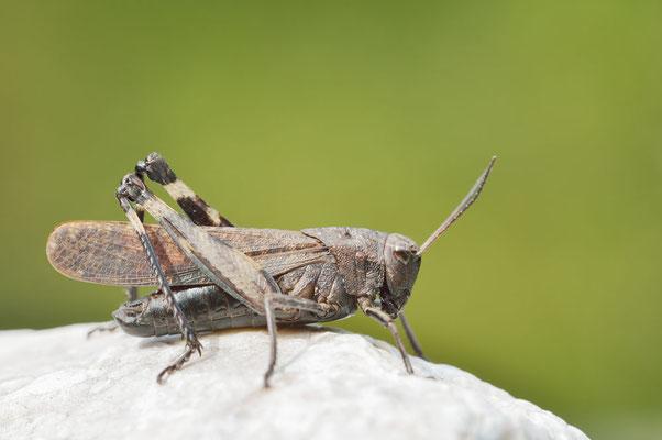 Rotflügelige Schnarrschrecke (Psophus stridulus) / ch163751