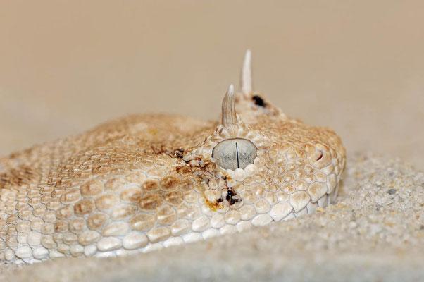 Wüsten-Hornviper (Cerastes cerastes) / ch015353