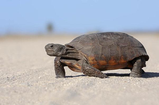 Gopherschildkröte (Gopherus polyphemus) / ch063930