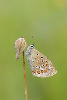 Hauhechel-Bläuling (Polyommatus icarus) / ch091051