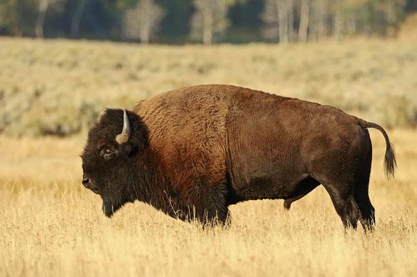 Amerikanischer Bison (Bison bison) / ch057927