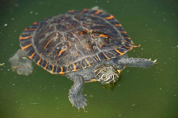 Westliche Zierschildkröte (Chrysemys picta bellii) / ch070263