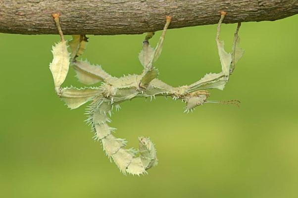 Australische Gespenstschrecke / (Extatosoma tiaratum) / ch088634