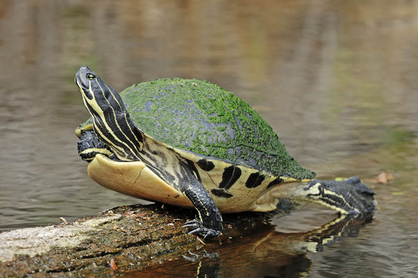 Florida-Rotbauch-Schmuckschildkröte (Chrysemys nelsoni, Pseudemys nelsoni) / ch023997