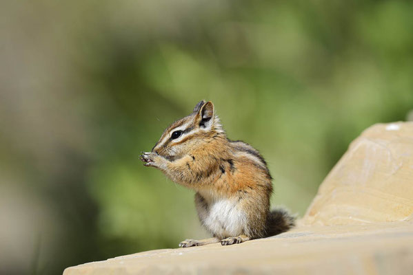 Kleines Streifenhörnchen (Tamias minimus, Neotamias minimus) / ch160338