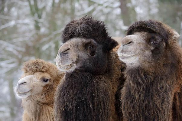 Trampeltier (Camelus bactrianus) / ch084983