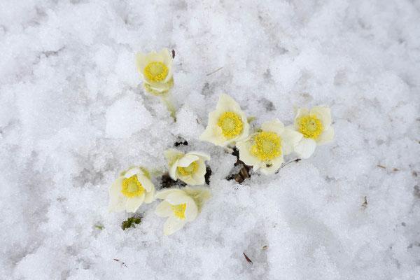 Anemonen im Schnee (Anemone occidentalis) / ch159105