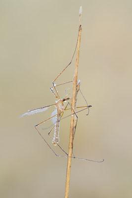 Schnake (Tipula sp.) / ch181977