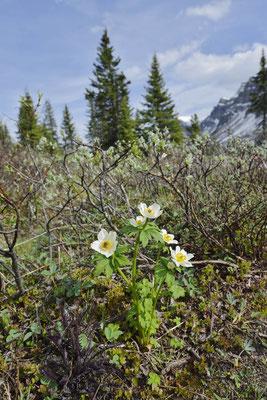 Anemone (Anemone occidentalis) / ch159088