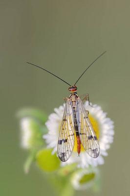 Gemeine Skorpionsfliege (Panorpa communis) / ch088595