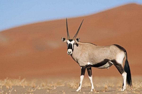Spießbock (Oryx gazella) / chs05120