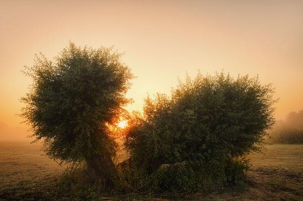 Silber-Weiden (Salix alba) bei Sonnenaufgang, Nordrhein-Westfalen / chhd0014