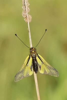 Libellen-Schmetterlingshaft (Libelloides coccajus) / ch091169