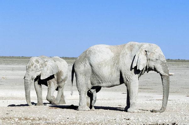 Afrikanischer Elefant (Loxodonta africana) / chs05103