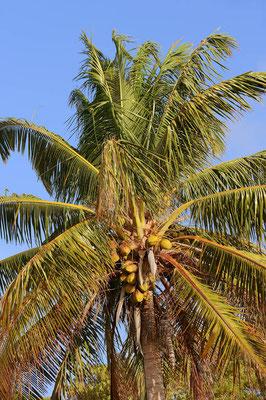 Kokospalme (Cocos nucifera) / ch069684