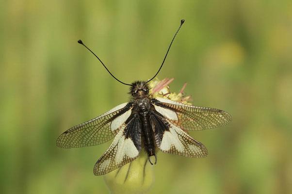 Schmetterlingshaft (Libelloides lacteus) / ch109183