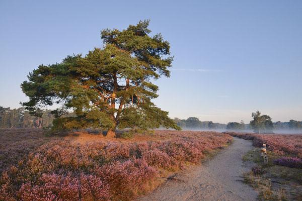 Gemeine Kiefer (Pinus sylvestris) in blühender Heidelandschaft chhd0039