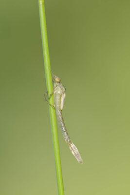 Gemeine Weidenjungfer (Lestes viridis, Chalcolestes viridis) / ch138102