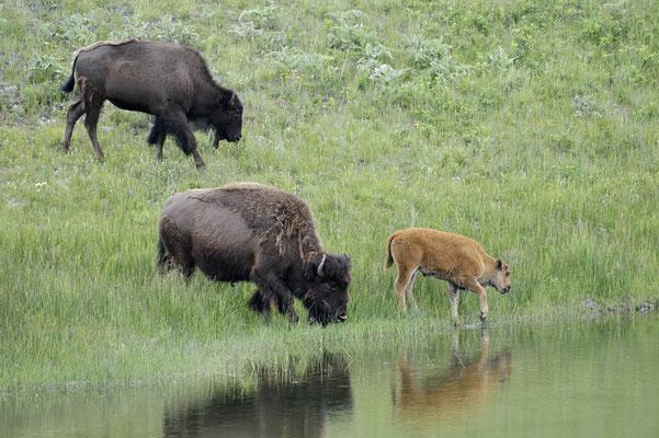 Amerikanischer Bison (Bison bison) / ch159960