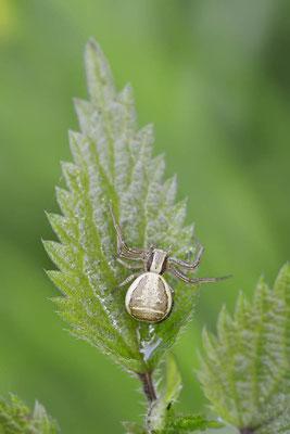 Braune Krabbenspinne (Xysticus cristatus, Xysticus viaticus) / ch144434