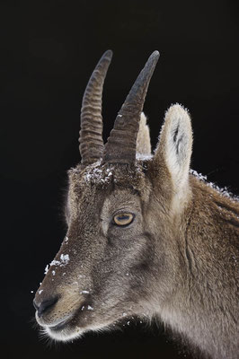 Alpensteinbock (Capra ibex) / ch104399