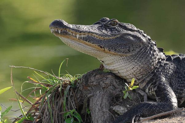 Mississippi-Alligator (Alligator mississippiensis) / ch063743