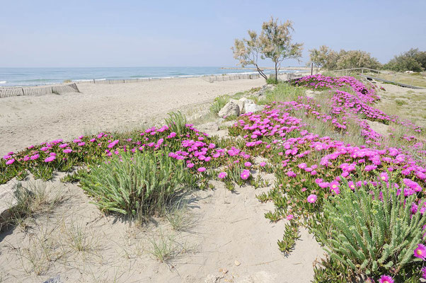Rote Mittagsblume (Carpobrotus acinaciformis) an der Küste, Provence, Frankreich / ch108518