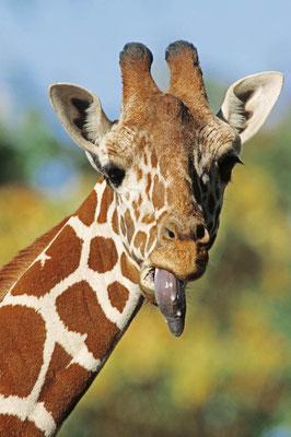 Netzgiraffe (Giraffa camelopardalis reticulata) / chs06295