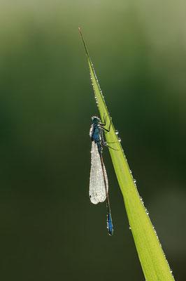 Große Pechlibelle (Ischnura elegans) / ch096251