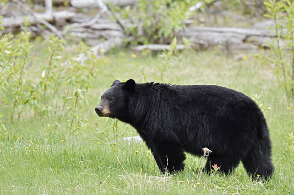 Amerikanischer Schwarzbär (Ursus americanus) / ch163246