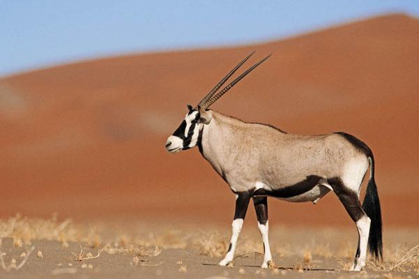Spießbock (Oryx gazella) / chs05123