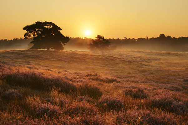 Heidelandschaft mit Kiefern bei Sonnenaufgang / chhd0041