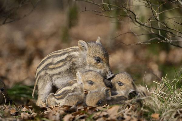 Europäisches Wildschwein (Sus scrofa scrofa) / ch141762