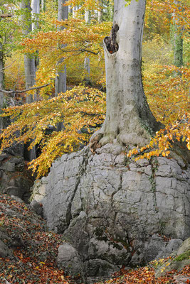 Rotbuche (Fagus sylvatica) im Herbst, Nordrhein-Westfalen / ch196837
