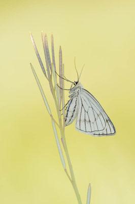 Hartheu-Spanner (Siona lineata) / chst0033