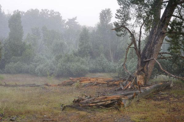 Gemeine Kiefer (Pinus sylvestris) und Wacholder (Juniperus communis) im Morgennebel / ch196681