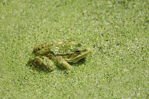Teichfrosch (Pelophylax esculentus) / ch018716