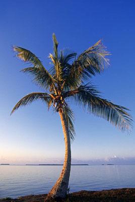Kokospalme bei Sonnenaufgang (Cocos nucifera) / chs05006