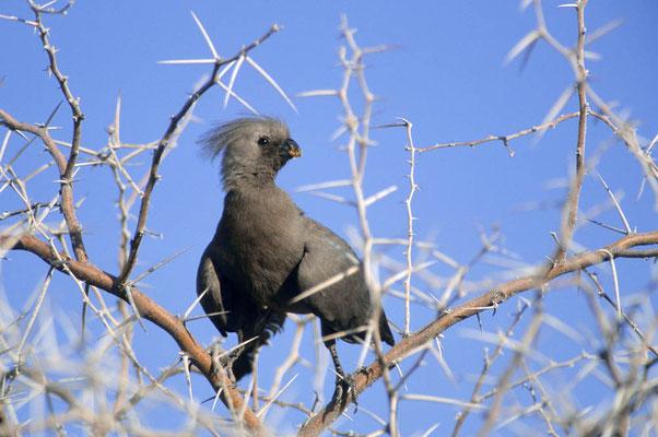 Graulärmvogel (Corythaixoides concolor) / chs05061