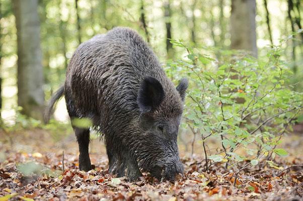 Europäisches Wildschwein (Sus scrofa scrofa) / ch184777