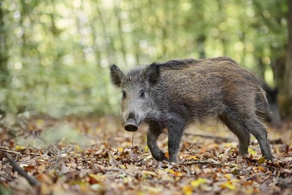 Europäisches Wildschwein (Sus scrofa scrofa) / ch184780