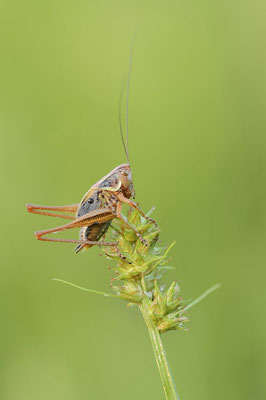 Roesels Beißschrecke (Roeseliana roeselii) / ch177659