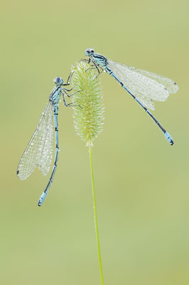 Hufeisen-Azurjungfer (Coenagrion puella) / ch190860
