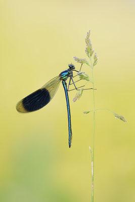 Gebänderte Prachtlibelle (Calopteryx splendens) / ch177819