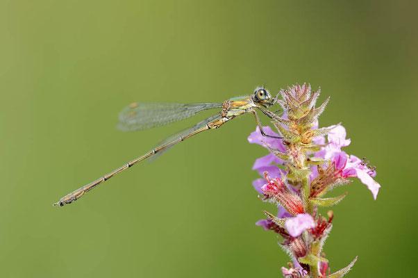 Gemeine Weidenjungfer (Lestes viridis, Chalcolestes viridis) / ch118270