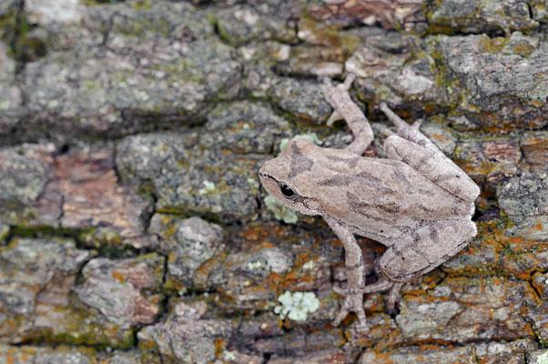 Kiefern-Laubfrosch (Hyla femoralis) /ch064092