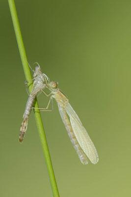 Gemeine Weidenjungfer (Lestes viridis, Chalcolestes viridis) / ch138221